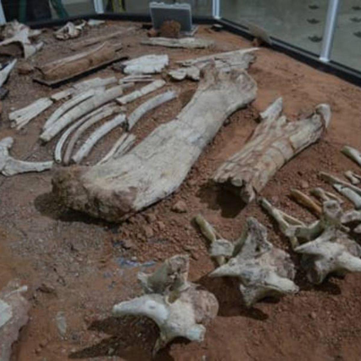 Fósseis achados há 24 anos em SP são de espécie inédita de dinossauro no Brasil - Divulgação